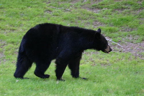 Image Result For Louisiana Black Bear